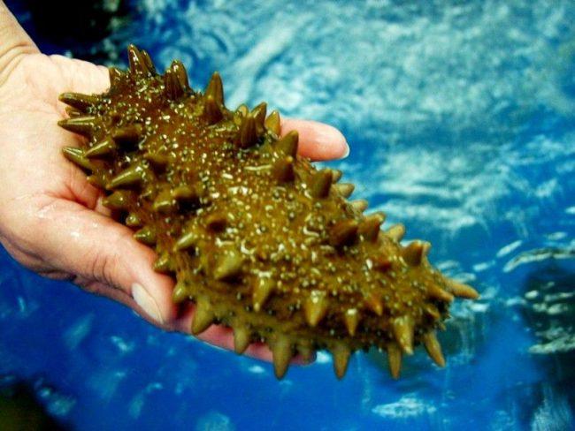 Трепанг. Лечебные свойства трепангов был известны еще в 16-м веке. Тогда их потребляли в пищу императорские особы, чтобы продлить жизнь, улучшить здоровье. Их за чрезвычайно ценный состав называют «морским женьшенем»