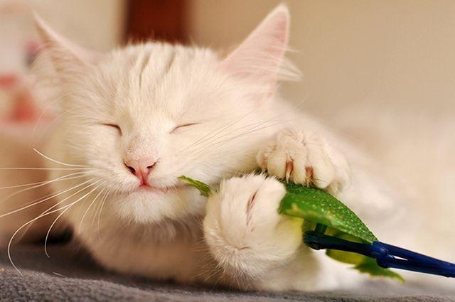 Турецкая ангора очень любит играть. Она без устали будет таскать своих мышек - настоящих и игрушечных - по дому, прятать, подбрасывать и так далее