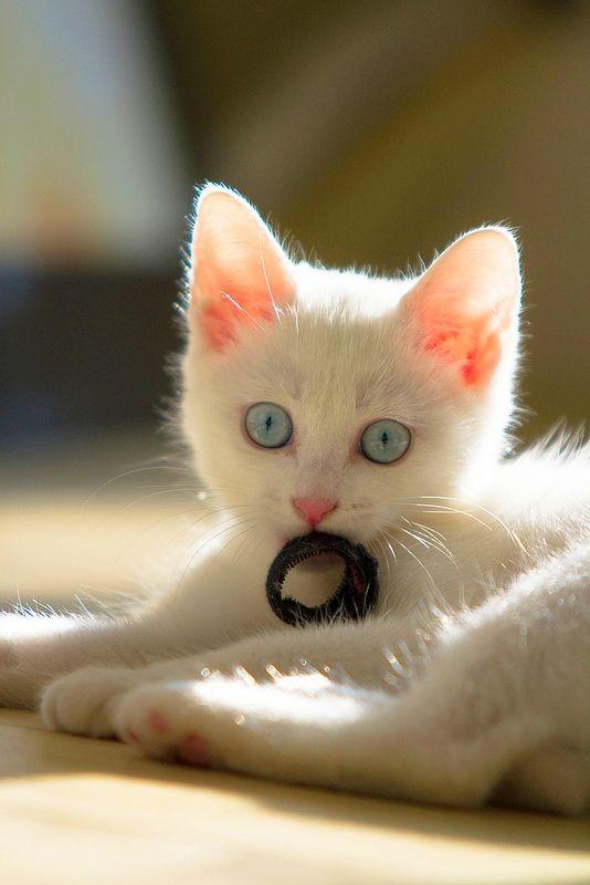 Голубоглазый ангорский малыш