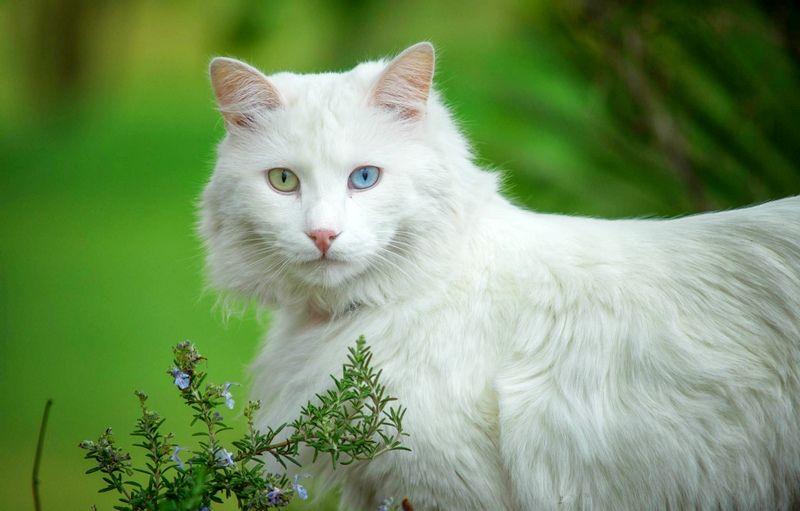 Фото ангорской породы кошки