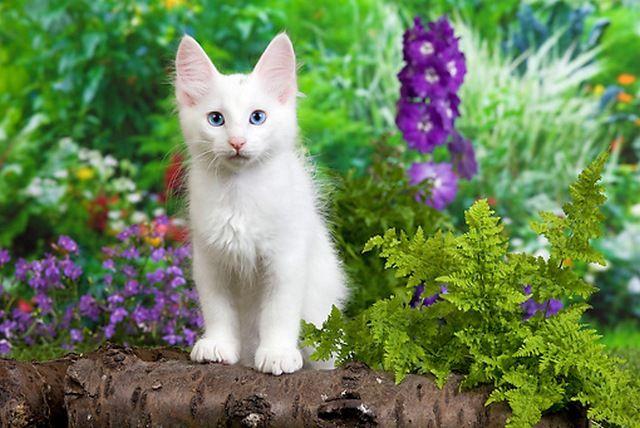 При вязке двух белых особей появление на свет глухих голубоглазых котят не является обязательным фактом. Однако именно ген, блокирующий пигментацию шерсти, может вызвать эту самую глухоту