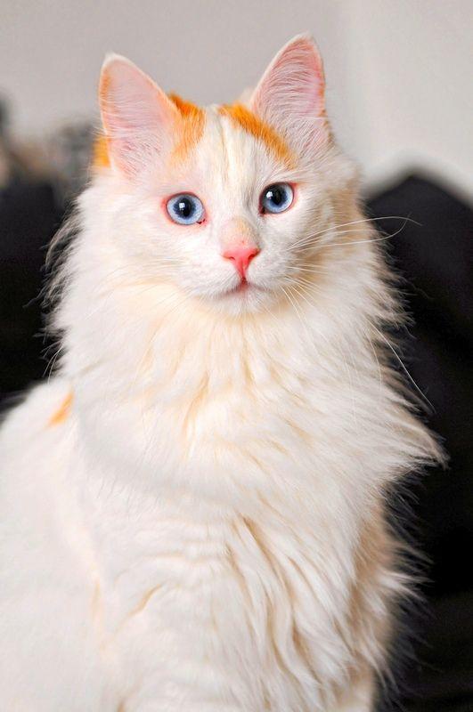 Турецкий ван - это умный и ловкий пес в кошачьем обличии