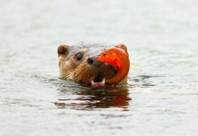 Как представитель семейства куньих, выдра речная очень хитрый и виртуозный охотник. Основной объект для охоты – это рыба, которую зверек догоняет со стремительной скоростью.