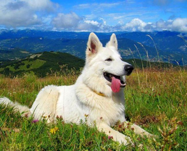 Белая швейцарская овчарка обладает мягким и покладистым характером, она не агрессивна, легко обучаема и очень быстро привязывается к хозяевам
