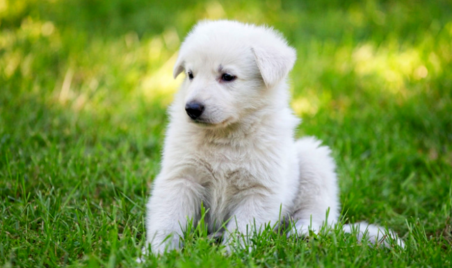 Щенок швейцарской овчарки похож на белого медвежонка Умку
