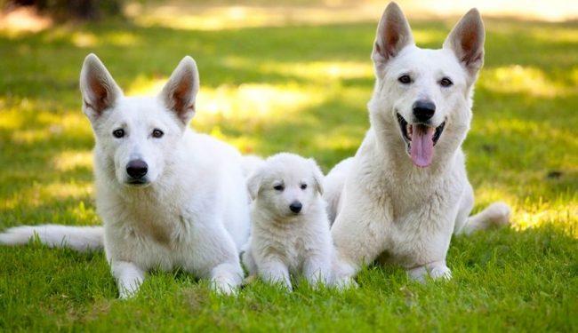 Швейцарские овчарки – это активные, умные, уравновешенные собаки, которые станут преданным другом для всей семьи, а также смогут помогать пастухам, полиции, службам спасения, выполнять роль сиделки