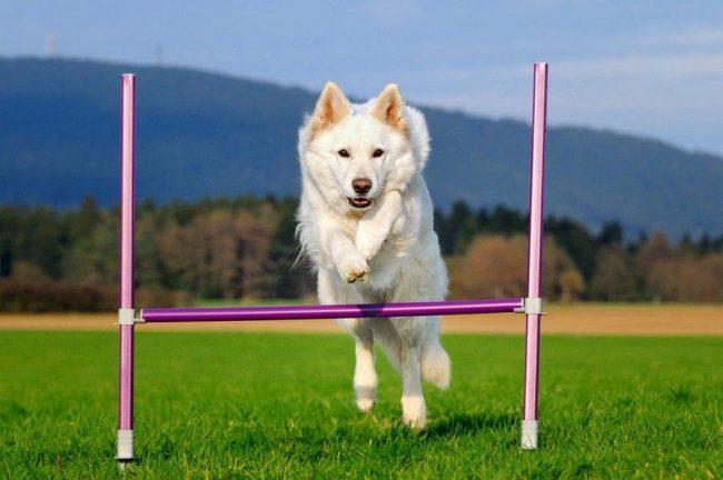 Белая швейцарская овчарка обожает частые прогулки и физические упражнения. Особой любовью у собак пользуются подвижные игры, поэтому часто кидайте питомцу мячики, палки, диски фрисби