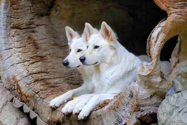 Белая швейцарская овчарка очень трудолюбива, ответственна и дисциплинирована, выполняет задания, быстро обучается и слушается хозяев