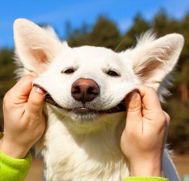 Швейцарская овчарка - собака с позитивным взглядом на жизнь