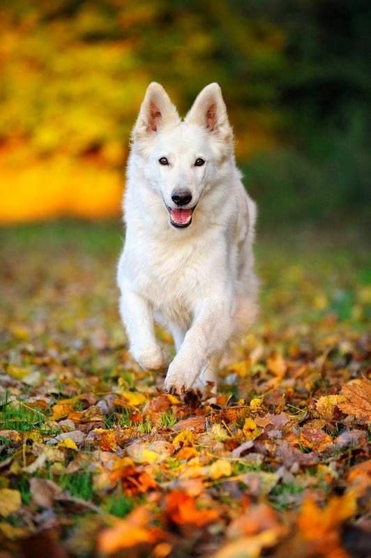Изначально белая швейцарская овчарка была разновидностью немецкой овчарки. Благодаря своему окрасу, она стала одной из лучших пастушьих собак, так как легко сливалась с белой шерстью овец и не выделялась среди других домашних животных, которых ей приходилось охранять. В 2003 году эту собаку выделили как отдельную породу