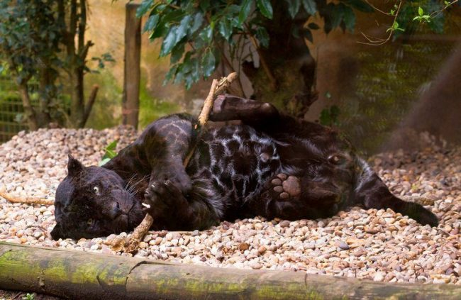 Очень редко встречается меланист - черный ягуар. Его окрас не абсолютно черный. У него больше черных розочек и очень мало рыжеватости