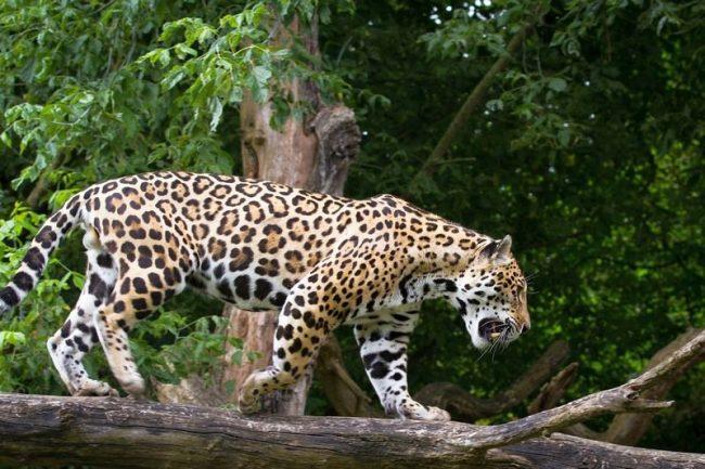 Имя ягуар происходит от индейского слова «yajuar» - «тот, кто убивает одним прыжком». Во время охоты зверь пользуется своими сильными лапами и острыми зубами