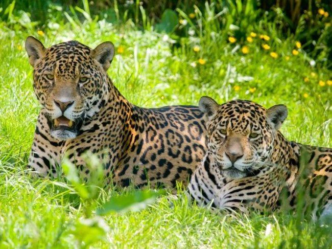 Так как в свое время ягуар был практически уничтожен охотниками, во избежание разрыва природного звена, вид занесен в Международную Красную книгу