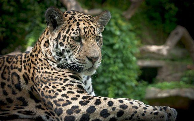 Ягуары идентифицируются по их желтым или оранжевым шкурам, темным пятнам и коротким лапам. Темные пятна выглядят как розы и называются розетки