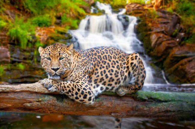 Ягуар – один из крупнейших хищников Северной и Южной Америки. Его тело длиной от 112 до 182 см без хвоста. Сам же хвост вырастает до 75 см