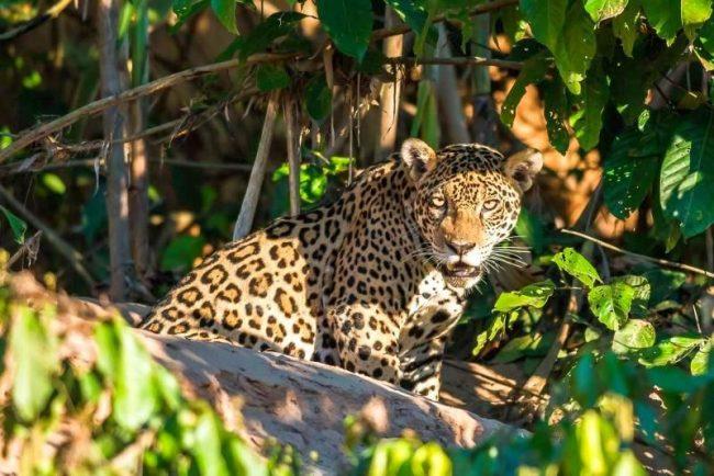 Эти дикие кошки встречаются в темных лесах, саванах, болотистых местностях, горных лесах, на океанском побережье и даже в пустыне. Ягуар все еще имеет ареол в устье Амазонки, но был почти истреблен в других более сухих регионах