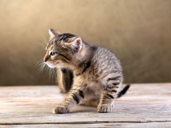 Самый главный признак того, что ушной клещ у кошки есть - интенсивный зуд в области головы: питомец трясёт головой и расчёсывает уши