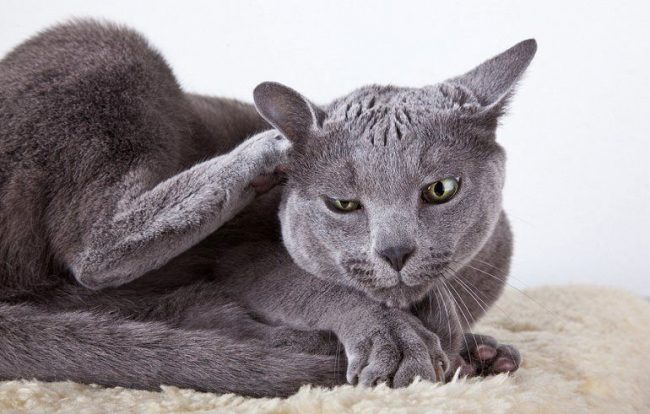 Если кошка странно трётся ушами о разные предметы, проверьте животное на наличие ушных клещей. Стоит это сделать, даже если ушки выглядят вполне здоровыми. А тем более, если в районе ушей появились покраснения, залысины, начесы и коричневый налёт внутри раковины