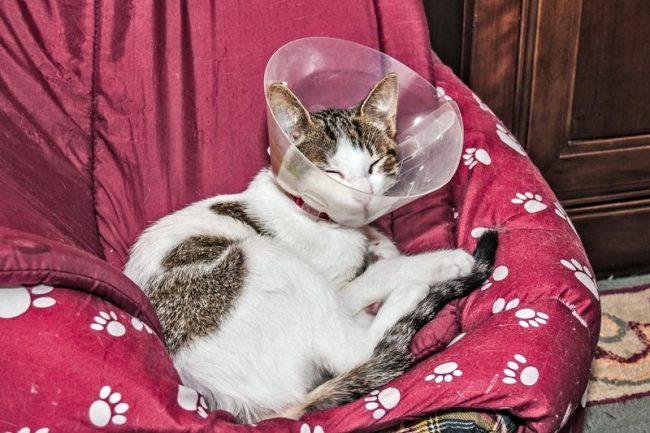 Важно не дать кошке расцарапать ушки до крови. Для этого можно использовать специальные воротники