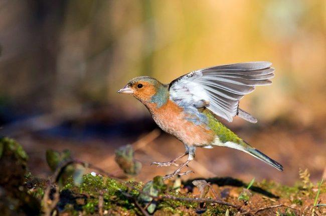 Зяблик – одна из самых распространенных лесных птиц в России. В начале апреля уже слышны его жизнерадостные песни, которые напоминают по звучанию пение соловья