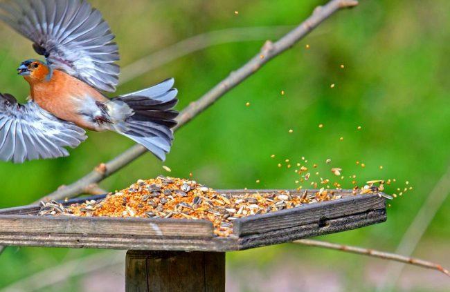 Зяблик. Самцы зябликов полигамны, они могут спариваться сразу с несколькими самками, поэтому количество самок в вольере обычно превышает количество самцов. В хороших условиях потомство может появляться до двух раз в год