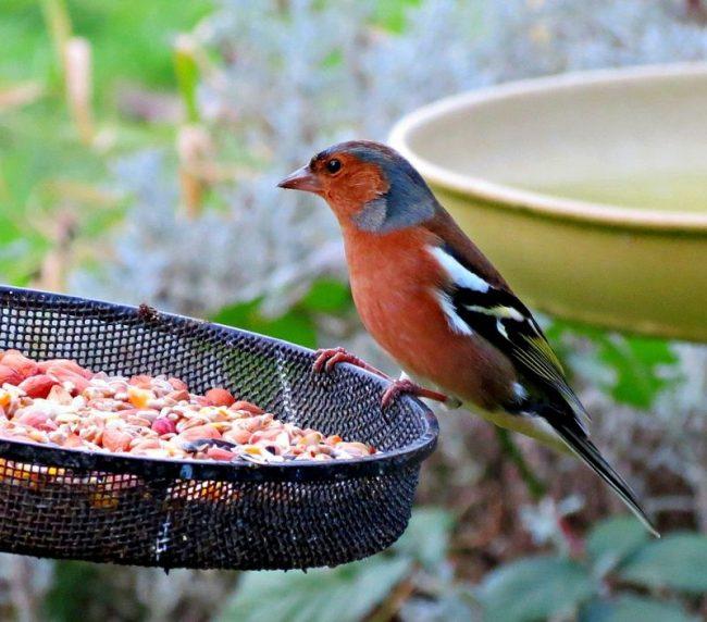 Зяблик не самая подходящая птица для содержания дома. Они не становятся ручными, но в неволе могут прожить около 10 лет. Это удивительно, ведь в природе продолжительность их жизни гораздо короче и составляет примерно 2 - 3 года
