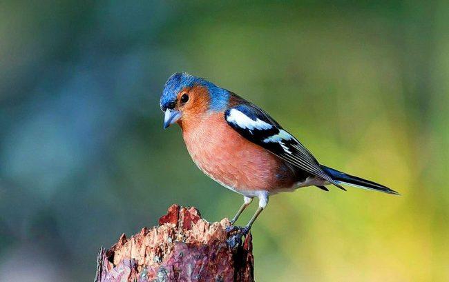 Зяблик - птичка небольших размеров, чуть меньше воробья. Узнать его несложно по пестрому нарядному оперению. У зяблика серо-бурая спинка, зелёное надхвостье, черные крылья с белыми полосками, бордовая грудка, серая или голубоватая голова