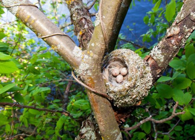Гнездо зяблика. Строительством гнезда занимается самочка, а самец приносит ей необходимые для этого материалы