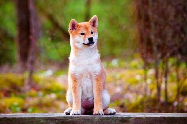 У акиты многовековое бойцовское наследие. Мало того, что на охоте пес спокойно шел на медведя, он активно участвовал в собачьих схватках, которые организовывались, чтобы сохранить или даже поднять боевой дух самураев