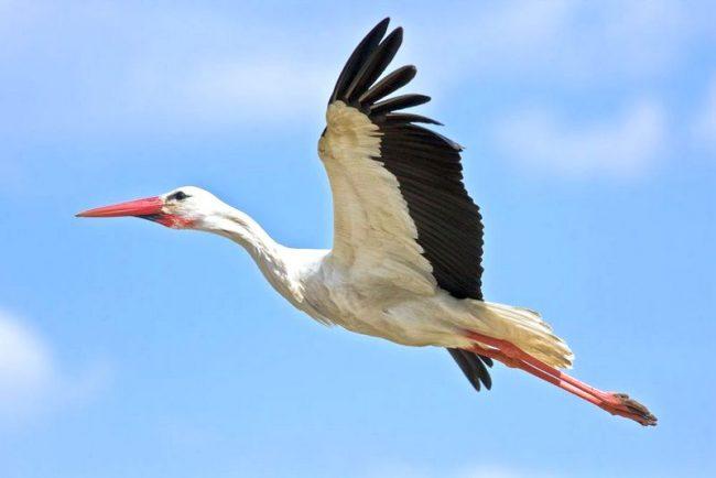 """Наш список """"Птицы Подмосковья"""" открывает прекрасный и величественный белый аист"""