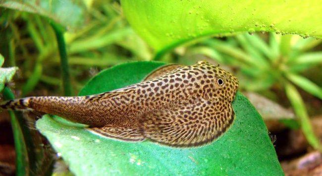 Бефортия может повстречаться как в живой природе, так и в домашнем аквариуме