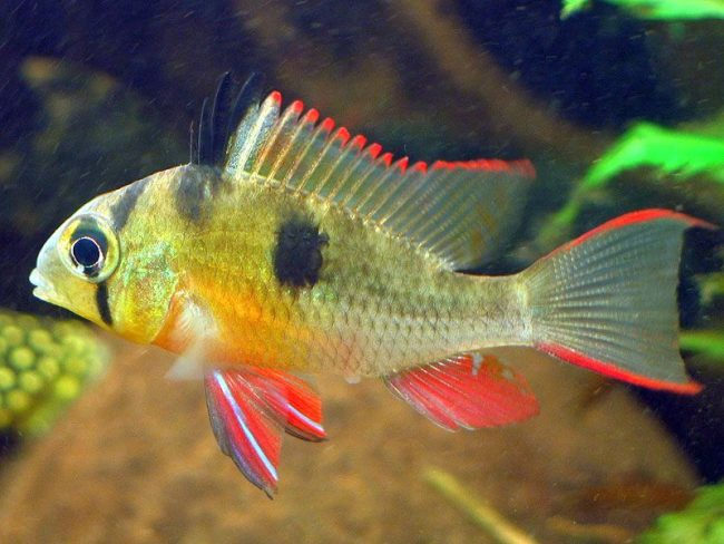 """Наш список """"Аквариумные рыбки"""" открывает прекрасная Боливийская бабочка, которая спокойна и миролюбива, поэтому хорошо уживается с другими сородичами"""