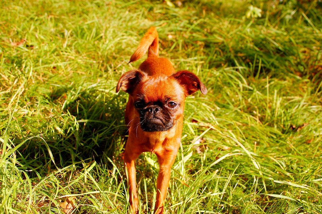 Порода собак брабансон фото