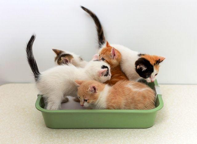Приучать котят к туалету нужно с первых дней жизни в вашем доме
