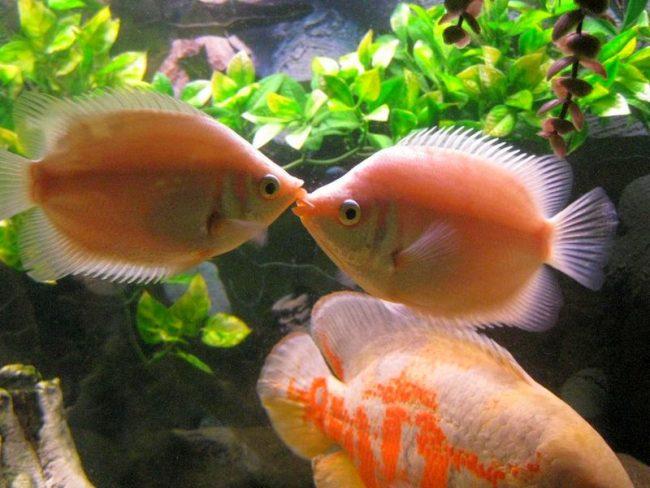 Целующийся гурами имеет форму губ поцелуя, от куда и пошло его название