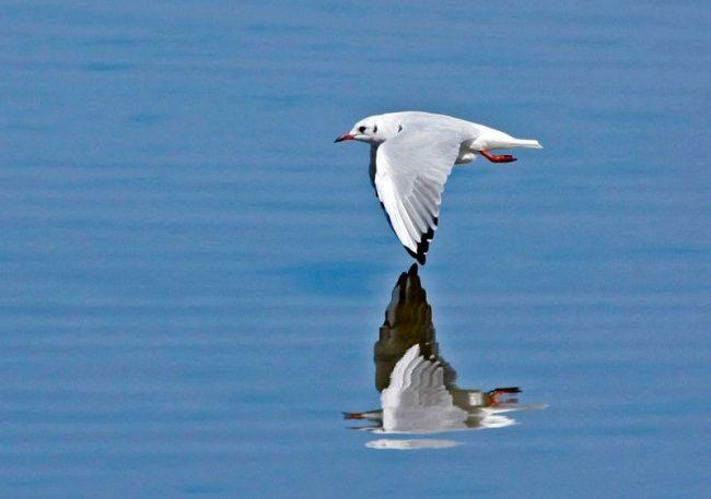 Озерная чайка гораздо меньше морской