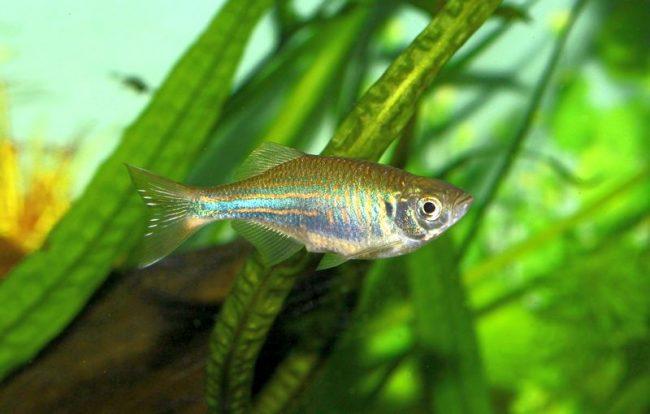Данио малабарский - спокойная и миролюбивая рыбка
