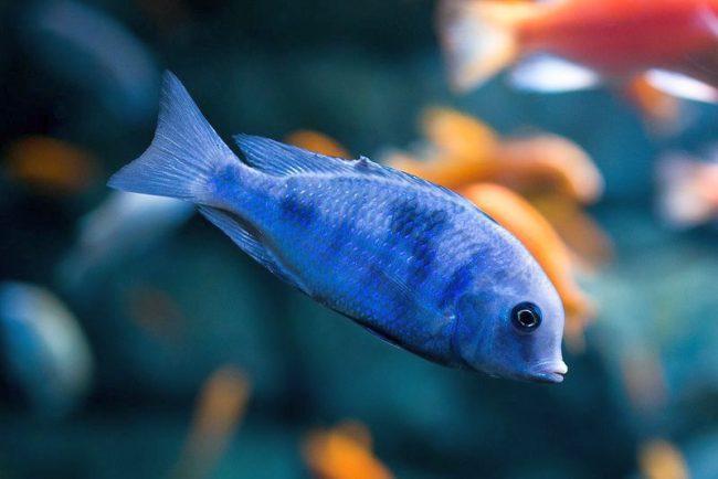 Аквариумные рыбки Голубой дельфин действительно похожи на настоящих дельфинов