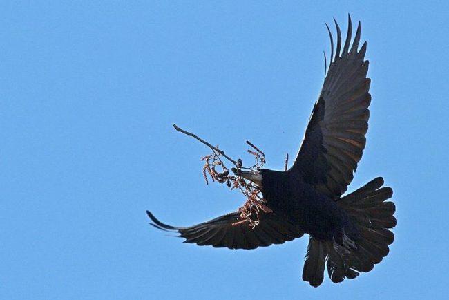 Грач - близкий родственник вороны, но более стройный