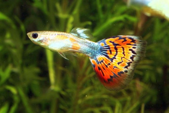 аквариумные рыбки мелкие фото