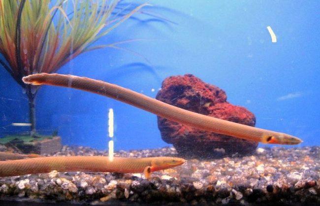 Каламоихт калабарский похож на маленькую змею
