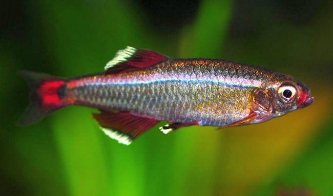 Кардинал - практически исчезнувший в природе вид рыб