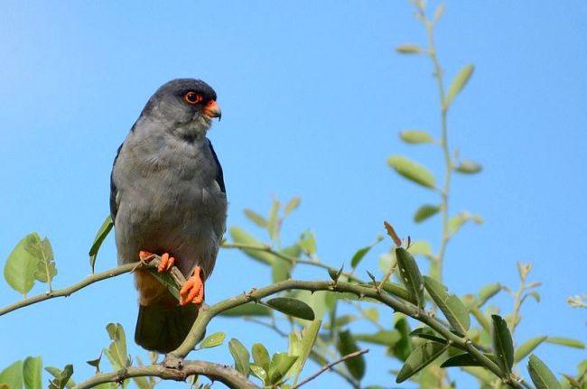 Кобчик - хищная птица, которая питается грызунами