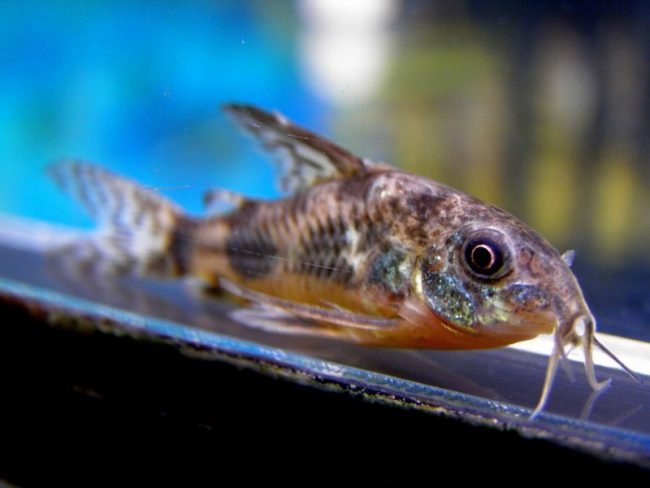Крапчатый сомик прекрасно подойдет для новичков-аквариумистов
