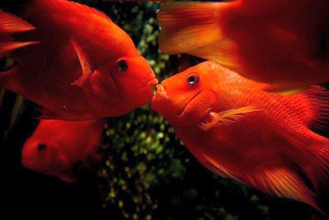 Красный попугай - любвеобильная, но пугливая рыбка
