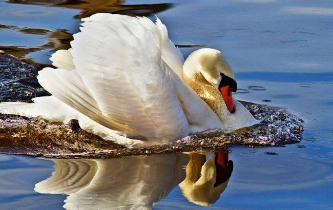Лебедь-шипун - знакомый многим обитатель озер