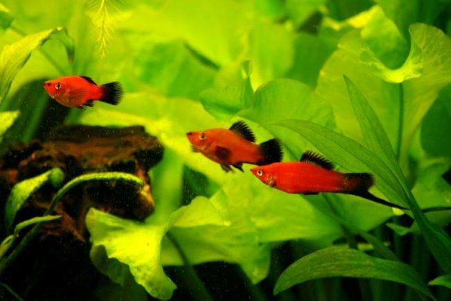 Меченосец, пожалуй, вторая по популярности аквариумная рыбка после гуппи