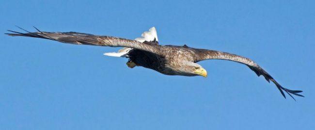Орлан-белохвост - довольно крупная птица, достигающая массы в 7 кг