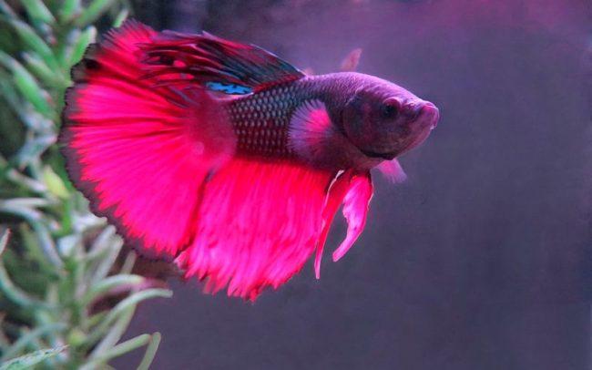 Петушки - самые красивые аквариумные рыбки