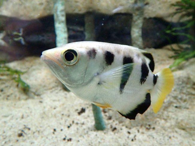 Рыба-брызгун брызгается тонкой струйкой воды по насекомым, таким образом, сбивая и поедая их
